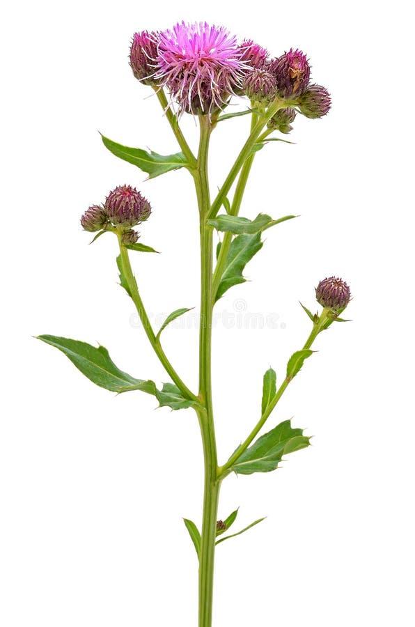 Cirsium arvense flower. Isolated on white background stock photos