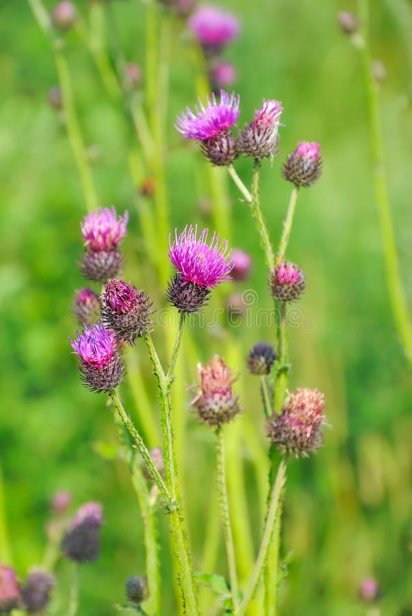 Cirsium arvense flowers. On meadow royalty free stock images