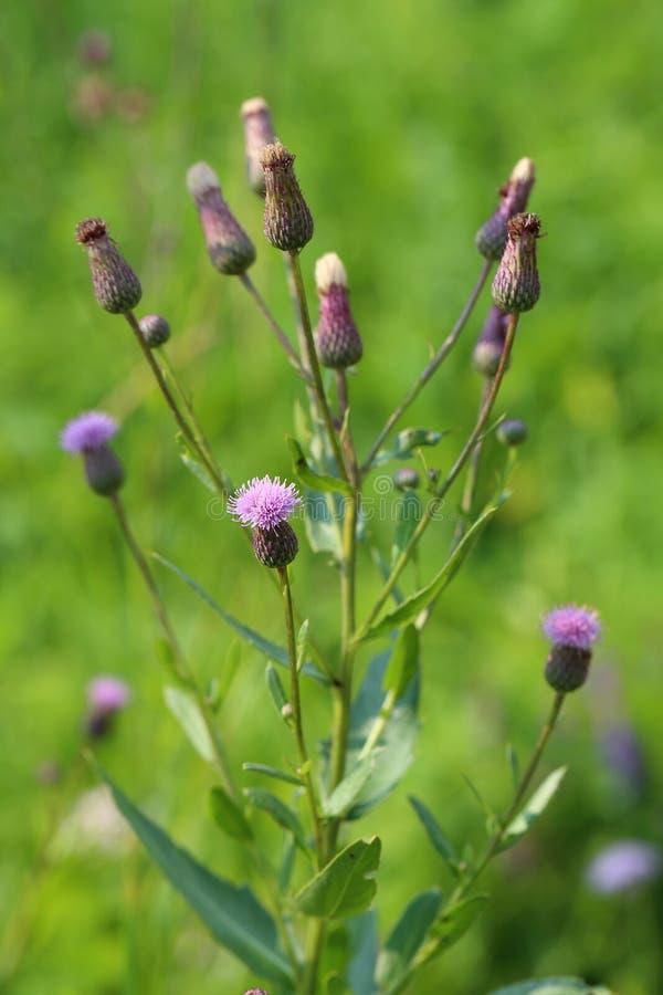 Cirsium arvense. Plant close up royalty free stock photography