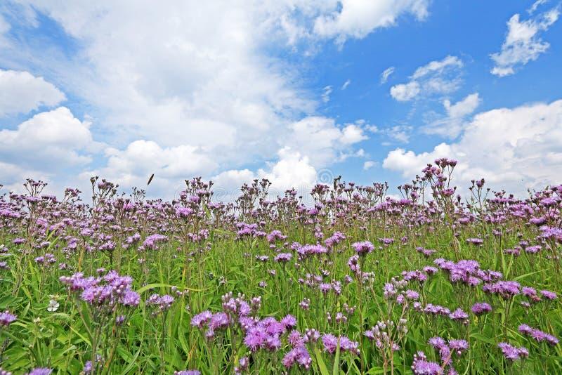 Cirsium arvense. Plant flowers close up royalty free stock photos