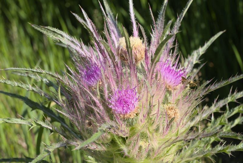 Cirsium foliosum. Or elk thistle stock images