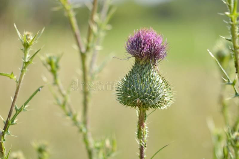Cirsium. Is a genus of perennial and biennial flowering plants in the Asteraceae, one of several genera known commonly as thistles. They are more precisely royalty free stock image