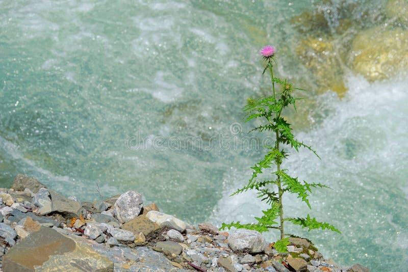 Cirsium leo. The close-up of a Cirsium leo grows near stream stock photos