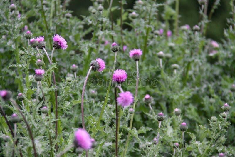 Cirsium vulgare,亦称刺中蓟、公牛蓟或者共同的蓟 免版税库存照片