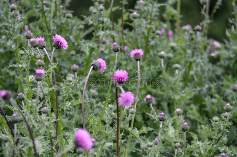 Cirsium vulgare, also known as spear thistle, bull thistle, or common thistle royalty free stock photo
