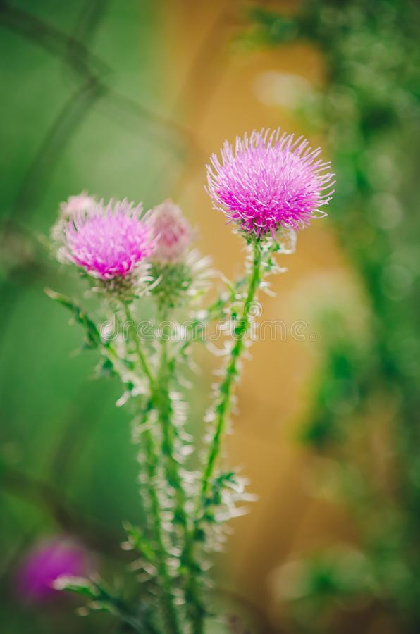 Cirsium vulgare also known as spear thistle, bull thistle, or common thistle. closeup, selective focus stock photo