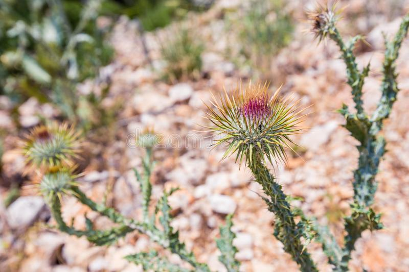 Cirsium vulgare flower. The spear thistle, bull thistle, or common thistle, blooming in summer stock photos