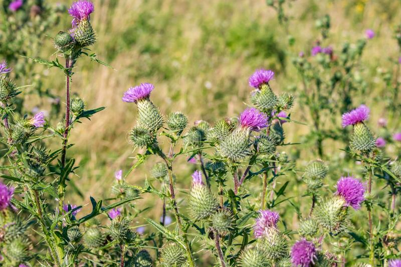 Cirsium vulgare plant. Cirsium vulgare, also known as spear thistle, bull thistle, or common thistle royalty free stock photography