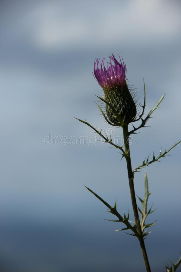 Cirsium vulgare. The purple flowers of the Bull Thistle Cirsium vulgare blooming in the Blue Ridge Mountains of North Carolina, U.S.A stock photo