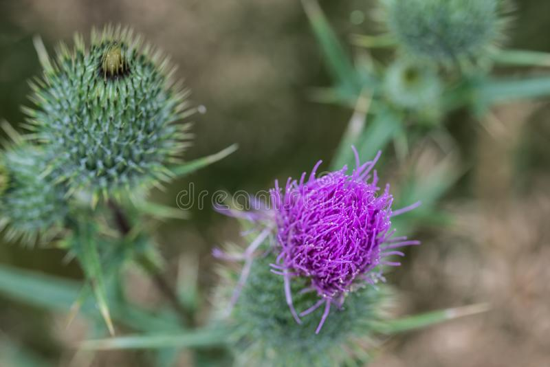 Cirsium vulgare, spear thistle, bull thistle flower royalty free stock photography