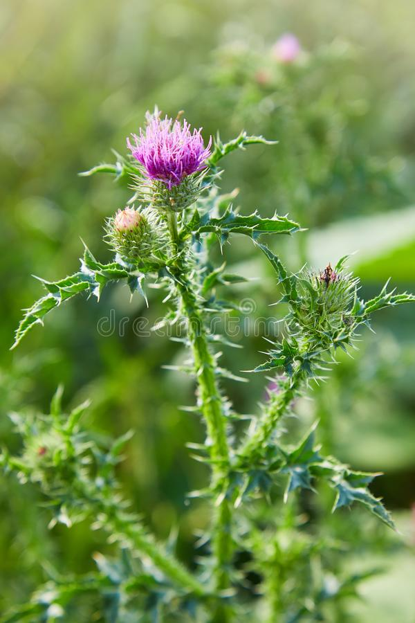 Cirsium vulgare, Spear thistle, Bull thistle, Common thistle. Short lived thistle plant with spine tipped winged stems and leaves, pink purple flower heads stock image
