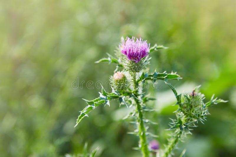 Cirsium vulgare, Spear thistle, Bull thistle, Common thistle. Short lived thistle plant with spine tipped winged stems and leaves, pink purple flower heads stock photography