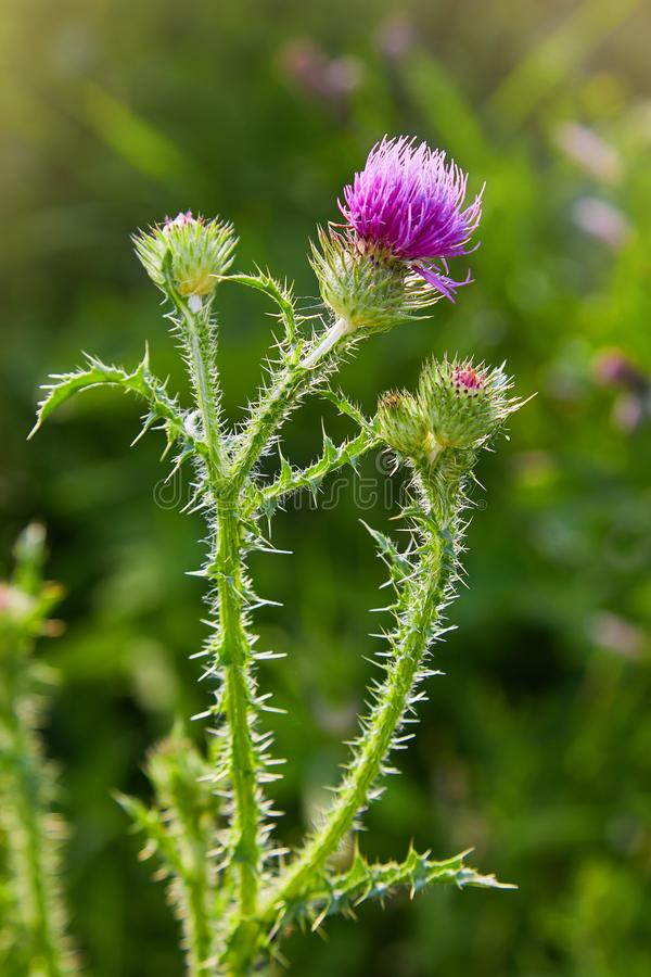Cirsium vulgare, Spear thistle, Bull thistle, Common thistle. Short lived thistle plant with spine tipped winged stems and leaves, pink purple flower heads stock photo