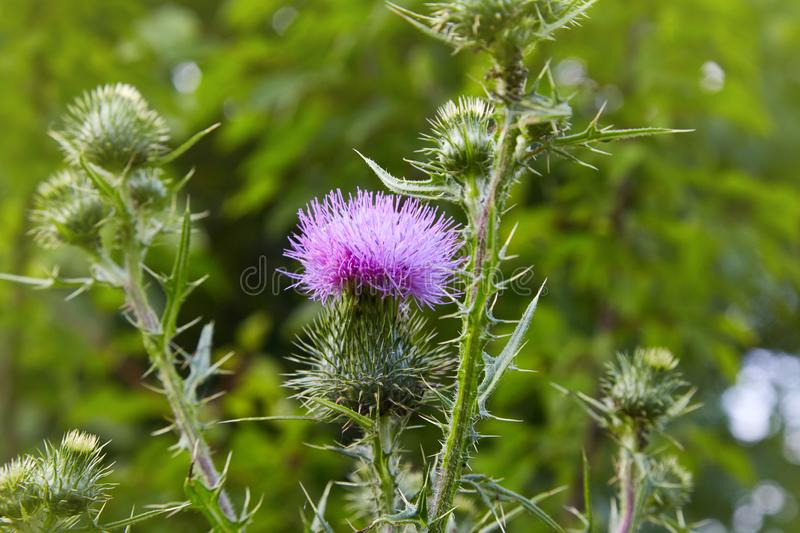 Cirsium vulgare, Spear thistle, Bull thistle, Common thistle, stock image