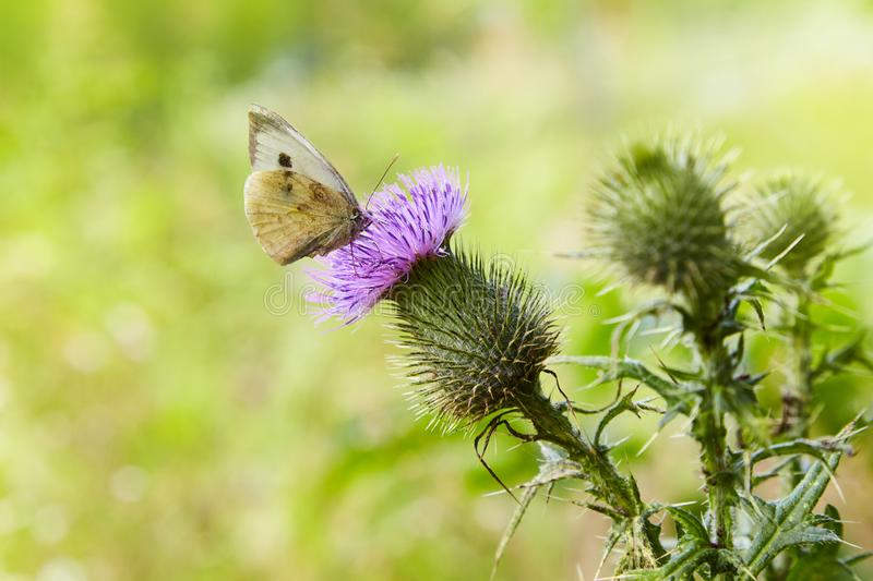 thistle plant with spine tipped winged stems and leaves, pink purple flower head with a butterfly on it stock images
