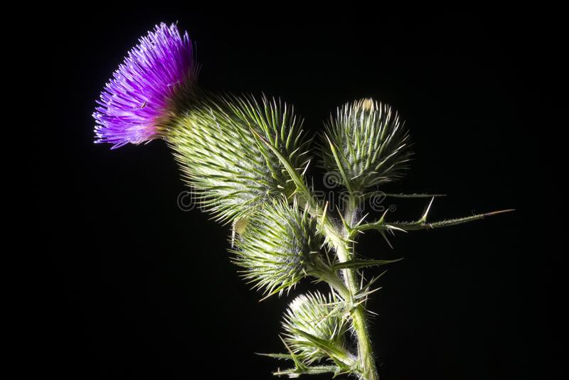 Bull Thistle Cirsium vulgare. Cirsium vulgare, the spear thistle, bull thistle, or common thistle, is a species of the Asteraceae genus Cirsium. Bull Thistle on stock photography