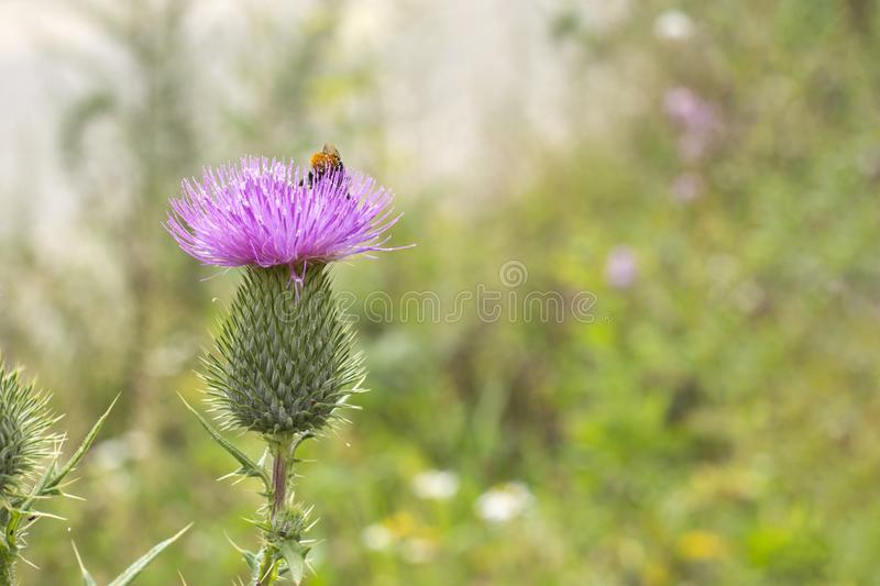 Cirsium vulgare - Spear Thistle burdock blooming, lilac petals on a large green thorn. background wallpaper banner royalty free stock image