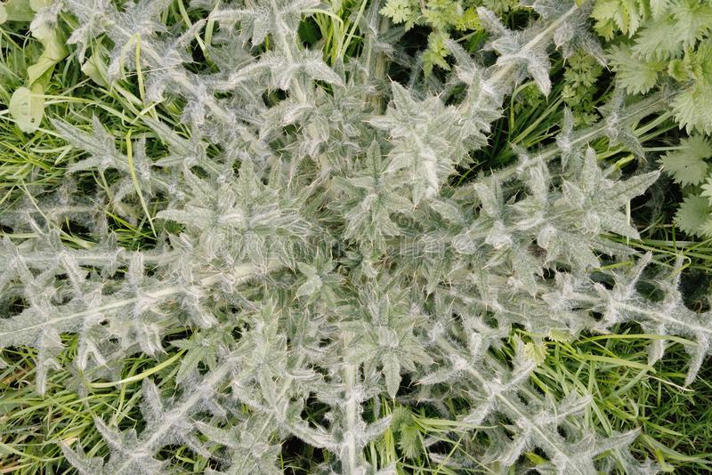 Cirsium vulgare or Spear thistle. stock images