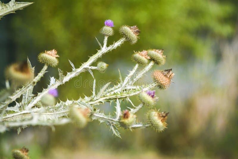 Cirsiumvulgare som blommar i sommar på en äng i Polen En popu arkivbilder