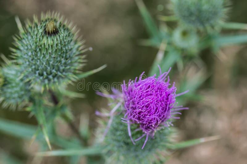 Cirsiumvulgare, spetsar tisteln, blomma för tjurtistel royaltyfri fotografi