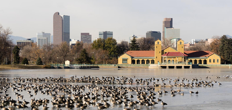 Cirt Park湖费里尔结冰的水移居鹅 免版税图库摄影