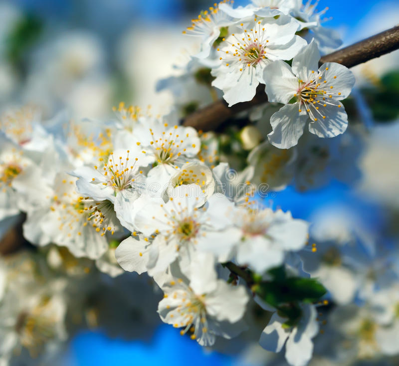 Ciruelo floreciente, mañana soleada de la primavera fotografía de archivo