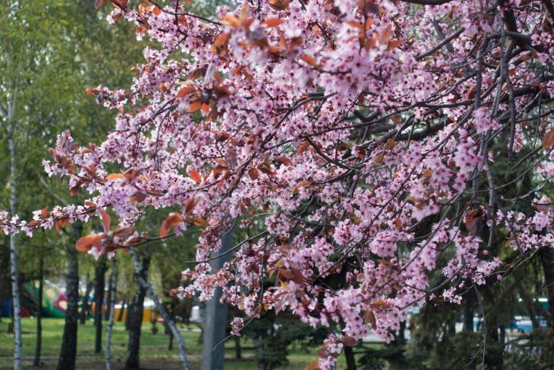 Ciruelo púrpura-hojeado de florecimiento en el parque imagen de archivo