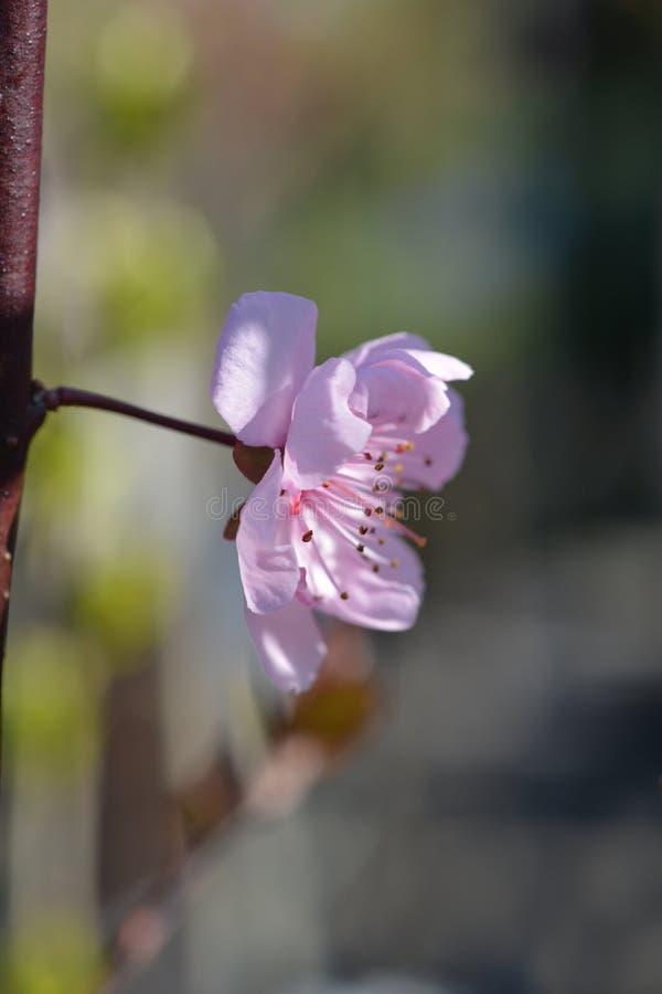 ciruelo Púrpura-hojeado fotografía de archivo libre de regalías
