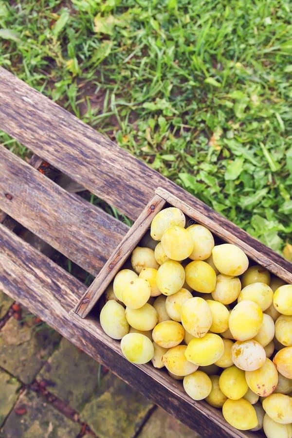 Ciruelos amarillos frescos en una bandeja de madera en un banco en jard?n del verano en luz del sol foto de archivo libre de regalías