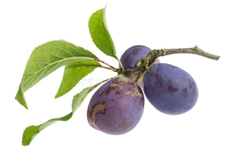 Ciruelos maduros frescos púrpuras en la rama con las hojas en el fondo blanco fotos de archivo libres de regalías