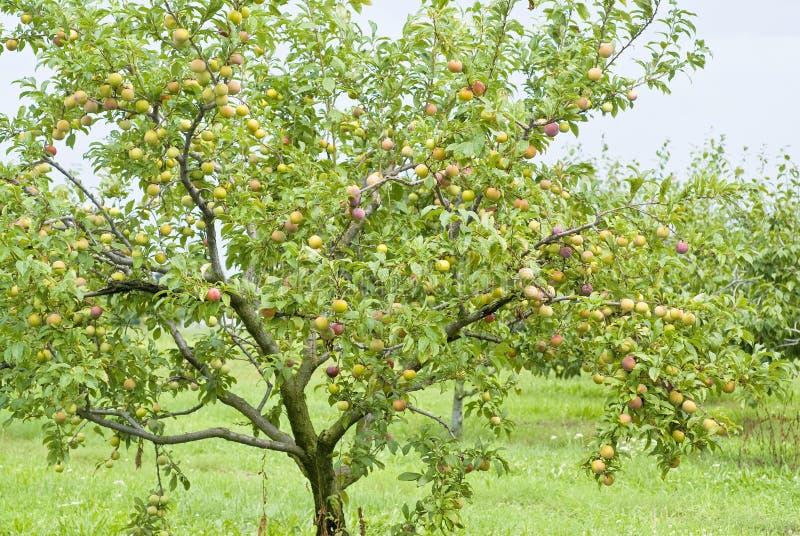 Ciruelos que maduran en el árbol fotos de archivo libres de regalías