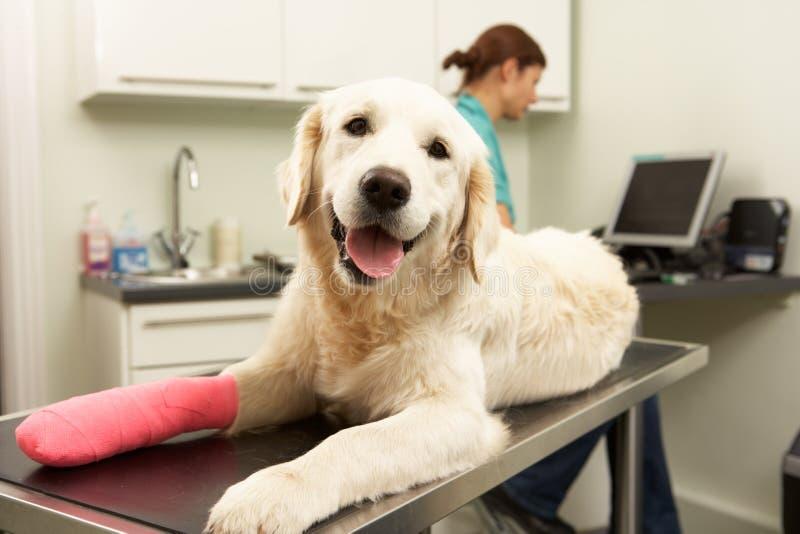 Cirujano veterinario de sexo femenino que trata el perro imagenes de archivo