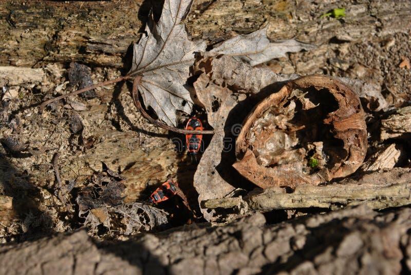 Cisawa drzewnego bagażnika tekstura zamknięta w górę czerwonego firebug Pyrrhocoris apterus z, przegnili liście i orzech włoski,  fotografia stock