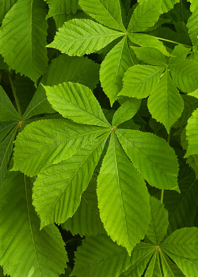 Cisawego drzewa liście obrazy stock