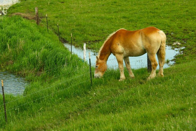 Cisawy brown kobyli pasanie w polu po dnia pracuje na Amish gospodarstwie rolnym w Wisconsini obrazy royalty free
