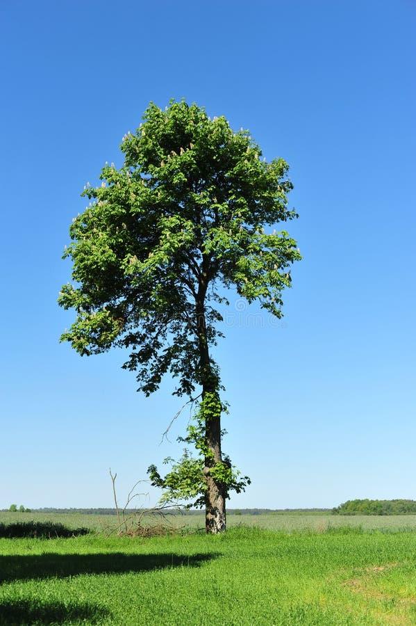 cisawy drzewo zdjęcie stock