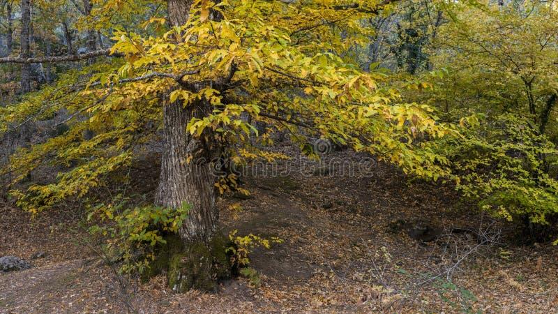 Cisawy szczegół w lesie w jesieni zdjęcia stock