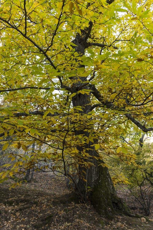 Cisawy szczegół w lesie w jesieni fotografia stock