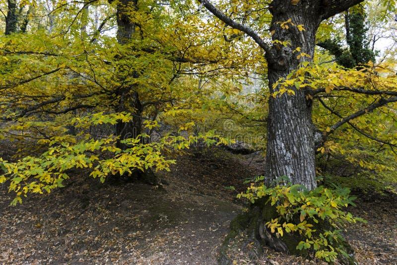 Cisawy szczegół w lesie w jesieni obrazy stock
