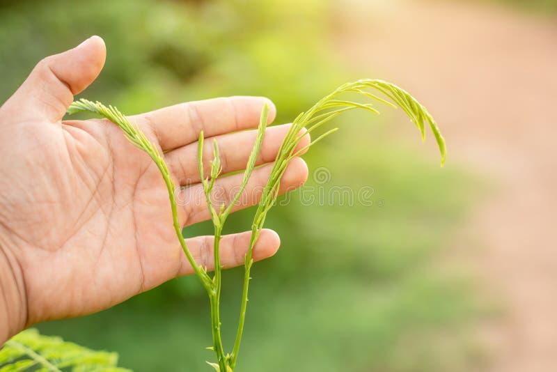 Ciseaux de participation de main et coupure du jeune haut vert le pennata de senegalia, l'acacia s'élevant, l'acacia ou le Cha-OM photos stock