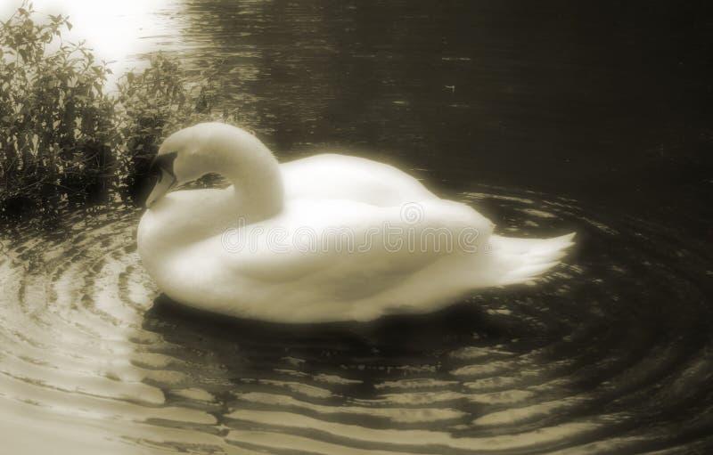 Download Cisne imagen de archivo. Imagen de cisne, natación, cisnes - 6075