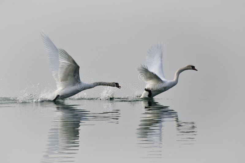 A cisne fotos de stock