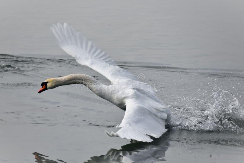 A cisne foto de stock royalty free