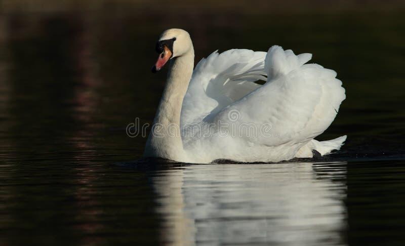 Cisne. imagens de stock
