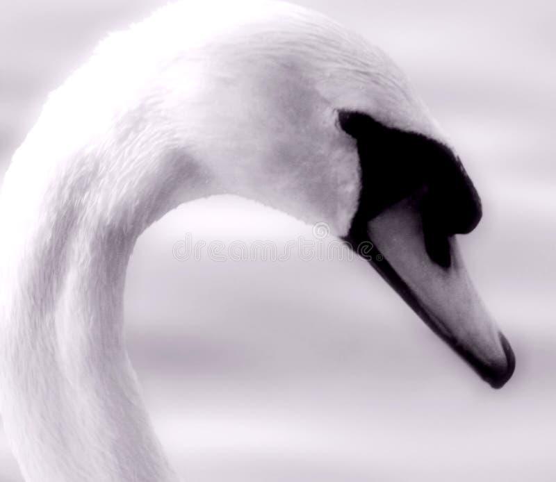 Cisne imagenes de archivo