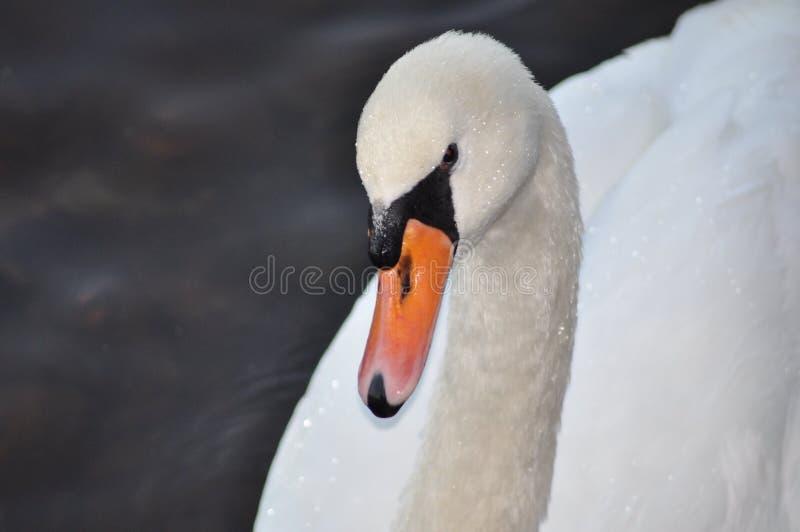 Cisne foto de archivo