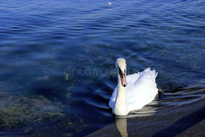 Cisne agradable fotos de archivo libres de regalías