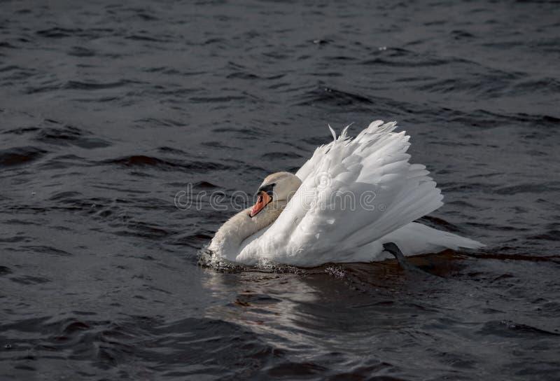 Cisne agresivo imagen de archivo libre de regalías