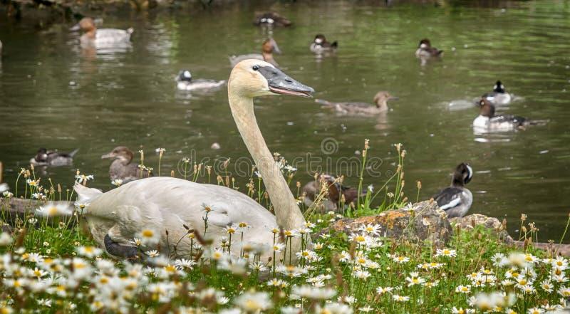 Cisne al lado del lago con el fondo de patos foto de archivo