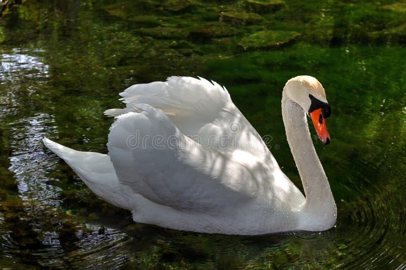 Download Cisne blanco imagen de archivo. Imagen de agraciado, azul - 41919751